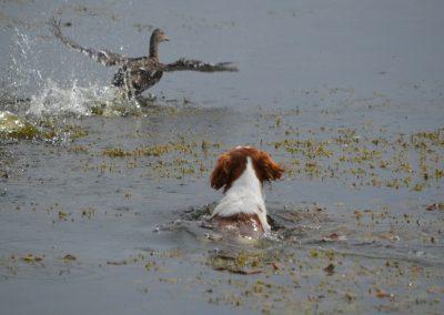 Fanny vom Falkenhof producing the duck