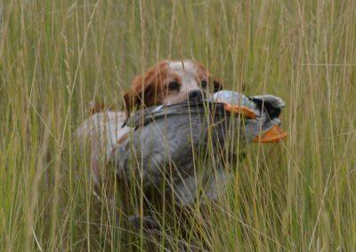 TR2 CH TopperLyn D'Artagnan Duck Hunting
