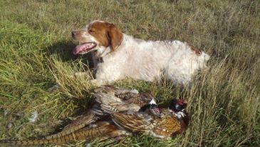 TR2 CH TopperLyn D'Artagnan pheasant hunting Medicine Lake MT